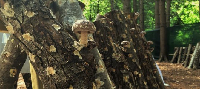 Azienda agricola Guà: conosciamo i funghi Shiitake